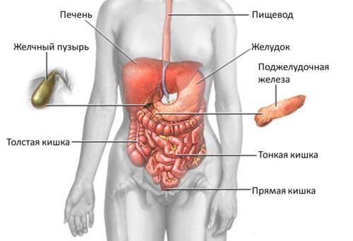 Struktur des Menschen Magen-Darm-Trakt